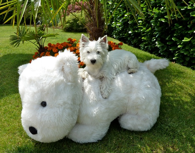club de race terrier d'ecosse